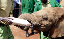Orphaned elephant being fed in Kenya Royalty Free Stock Image