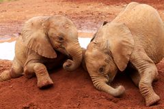 Orphaned elephants Royalty Free Stock Photos