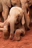 Orphaned elephants Stock Image