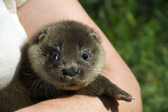 An orphaned European otter. (Lutra lutra lutra) in a wildlife rescue center royalty free stock photo