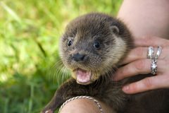 An orphaned European otter. (Lutra lutra lutra) in a wildlife rescue center royalty free stock photos