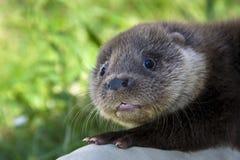 An orphaned European otter Stock Photo