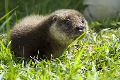 An orphaned European otter Stock Image