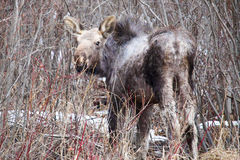 Orphaned moose calf shedding its winter coat stock photography