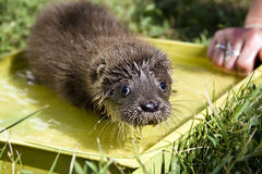 Orphaned otter baby royalty free stock photos
