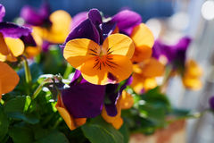 Orphans multicolored rings. Orphans multicolored flowers, blooming on a sunny spring day Stock Photos