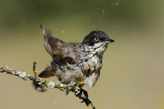 Orphean Warbler(Sylvia hortensis ) Stock Photography