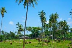 Orphelinat d'éléphant de Pinnawala Images libres de droits