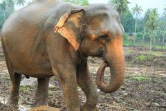 Orphelinat d'éléphant, Sri Lanka Images stock