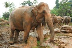 Orphelinat d'éléphant, Sri Lanka Image libre de droits