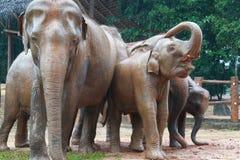 Orphelinat d'éléphant, Sri Lanka Photos libres de droits