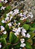 Orpheus kwiatu Haberlea rhodopensis zdjęcie royalty free