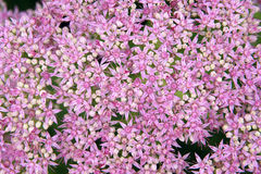Orpin Blumen Lizenzfreie Stockfotos