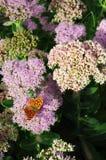 Orpin en vlinder Royalty-vrije Stock Foto