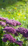 Orpine flower royalty free stock image
