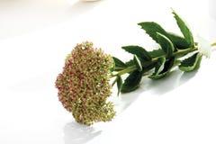 Orpine flowers (Hylotelephium telephium) Stock Photography