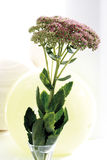 Orpine flowers (Hylotelephium telephium) in vase Royalty Free Stock Images