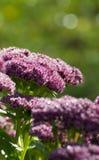 Orpine kwiat Zdjęcia Royalty Free