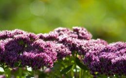 Orpine kwiat Obrazy Stock