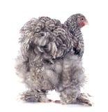 Orpington鸡 免版税库存图片