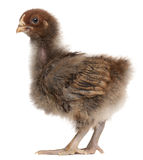 Orpington, a breed of chicken Royalty Free Stock Photography