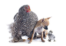 Orpington chicken and chihuahua Royalty Free Stock Image