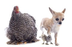 Orpington chicken and chihuahua Stock Photography