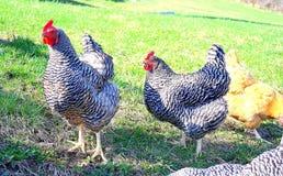Orpington de roche barré par poulets et de cuir épais Photographie stock