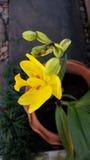 Orquídea à terra amarela Fotografia de Stock Royalty Free