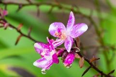 Orquídea à terra após a chuva Imagens de Stock Royalty Free