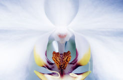 Orquídea íntima del Phalaenopsis Fotografía de archivo libre de regalías