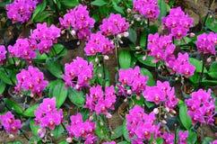 Orquídea 002 Foto de archivo