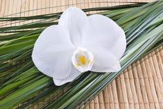 Orquídea. Imagem de Stock
