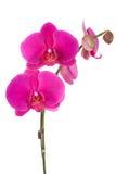 Orquídea Imagem de Stock