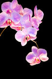 Orquídea Fotografia de Stock Royalty Free
