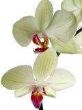 Orquídea Imagen de archivo