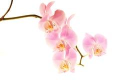 Orquídea fotografía de archivo libre de regalías