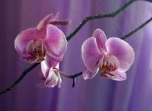 Orquídea - 3 Fotos de archivo libres de regalías