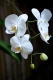 Orquídea Fotografía de archivo
