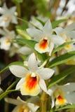 Orquídea 11 Imagem de Stock