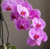 Orquídea imagens de stock royalty free
