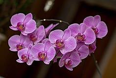 Orquídea fotografia de stock
