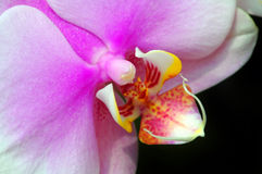 Orquídea Imagen de archivo libre de regalías