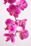 Orquídea foto de archivo libre de regalías
