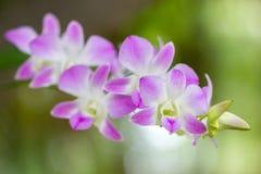 Orquídea Aerides Multiflora Roxb Imagenes de archivo