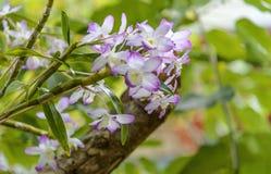 Orquídea Aerides Racemes oscilantes con muchas flores duraderas, fragantes, cerosas Foto de archivo