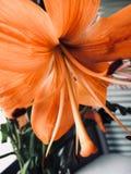 Orquídea alaranjada imagem de stock