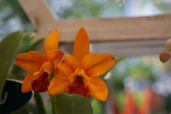 Orquídea alaranjada bonita Fotos de Stock Royalty Free