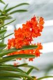 Orquídea alaranjada bonita, Ascocenda Fotos de Stock Royalty Free