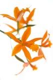 Orquídea alaranjada (Lelia) isolada no branco Foto de Stock Royalty Free